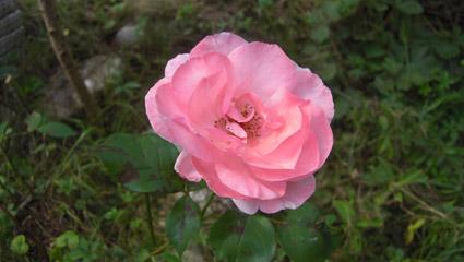 Rose, Foto: Gia Simetzberger